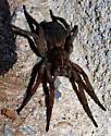 Wolf Spider - Tigrosa helluo - female
