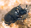 Dung Beetle - Onthophagus hecate
