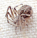 Titanebo californicus female? - Titanebo californicus - female