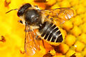 Megachile centuncularis? - Megachile centuncularis - female
