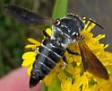 Megachilid Bee - Coelioxys dolichos? - Coelioxys dolichos - female
