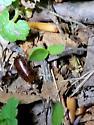Earwig or Beetle - Parcoblatta