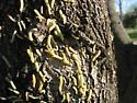 Caterpillars on Ash tree