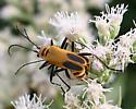 Beetle [Chauliognathus pensylvanicus?] ID Request - Chauliognathus pensylvanicus - male - female