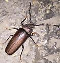 Unknown Beetle - Trichocnemis spiculatus