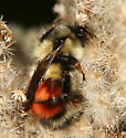 bumble bee - Bombus melanopygus - female