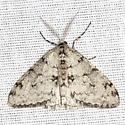 Small Phigalia Moth - Hodges #6660 - Phigalia strigataria