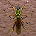 Wasp Mimic - Xylomya americana