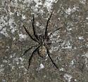 Requesting Spider ID - Calymmaria