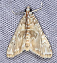 Elophila icciusalis ? - Elophila gyralis - male