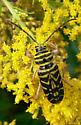 Beetle on goldenrod - Megacyllene robiniae
