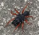 red legged spider - Sphodros rufipes