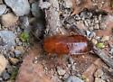 Ectobiidae nymph? - Parcoblatta virginica