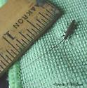Longhorn beetle? - Hippopsis lemniscata