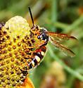 Beautiful Wasp - Scolia nobilitata - male