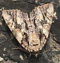 Moth ID Request - Catocala