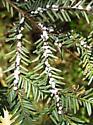 Hemlock wooly adelgid - Adelges tsugae