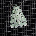 Appledore Herbew Moth - Acronicta fallax