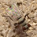 Fly ID - Anthomyia illocata - female