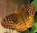 Great Spangled Fritillary - Speyeria cybele - male