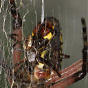 Mating - Argiope aurantia - male - female