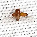 Bark Beetle - Xyleborus
