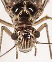 Barklice - Blaste subquieta - female
