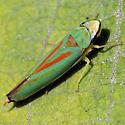 Dolly Sods Graphocephala - Graphocephala fennahi