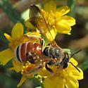 Bee with red abdomen - Dieunomia nevadensis - female