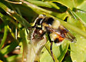 Bumble Bee Mimic Syrphid Fly? - Volucella bombylans-complex - female