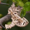 Inguromorpha arcifera ? - Inguromorpha arcifera