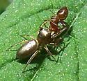Gold Spider - Tutelina elegans