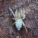 sac spider - Elaver
