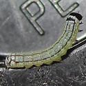 Turbulent Phosphila - Hodges#9618 - Phosphila turbulenta