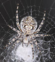 spider - Aculepeira carbonarioides