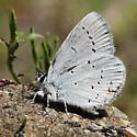 Lycaenidae: Everes amyntula - Cupido amyntula