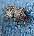 Ptinidae - Xestobium
