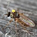 fly - Atrichopogon