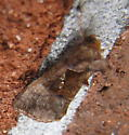 Pink-washed Looper Moth - Enigmogramma basigera