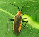 Plant Bug June 20 - Taedia
