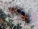 Milkweed bug - identified - Lygaeus kalmii