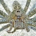 Fishing Spider - Dolomedes vittatus