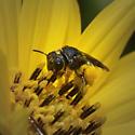 Pseudopanurgus (rugosus) - Pseudopanurgus rugosus - female