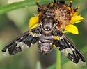 Unknown Fly (?) - Exoprosopa dorcadion