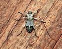 Long-horned - Hyperplatys maculata