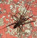 spider - Metaltella simoni - male