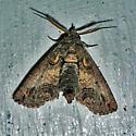 Large Paectes - Paectes abrostoloides - male