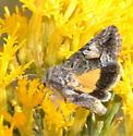 Pseudanarta crocea