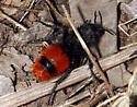 Dasymutilla - Dasymutilla clotho - female