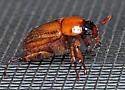 Beetle - Cyclocephala